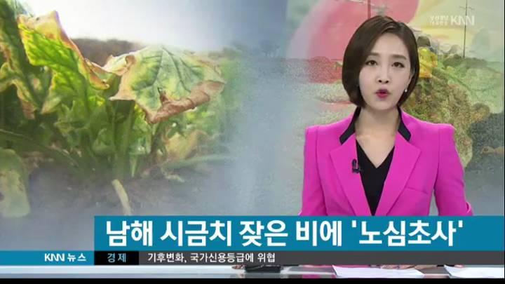 남해 시금치 가을 장마에  '노심초사'
