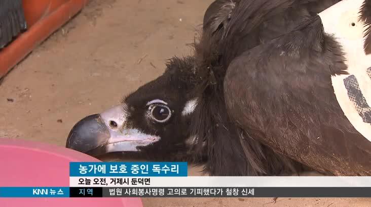 '굶주림 탈진 독수리', 힘겨운 겨울나기