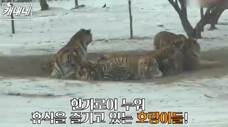 [캐내네]겨울에 만나는 토실토실 호랑이??