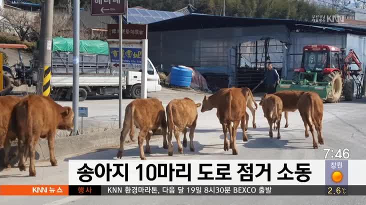 송아지 10마리 도로 점거 소동