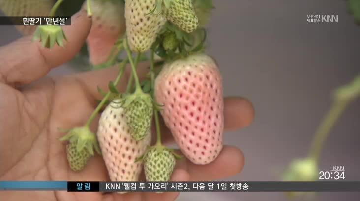 """""""빨간 딸기는 잊어라"""" 흰딸기 인기몰이"""