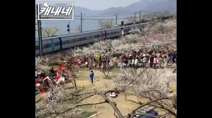 [캐내네]양산 원동 매화축제