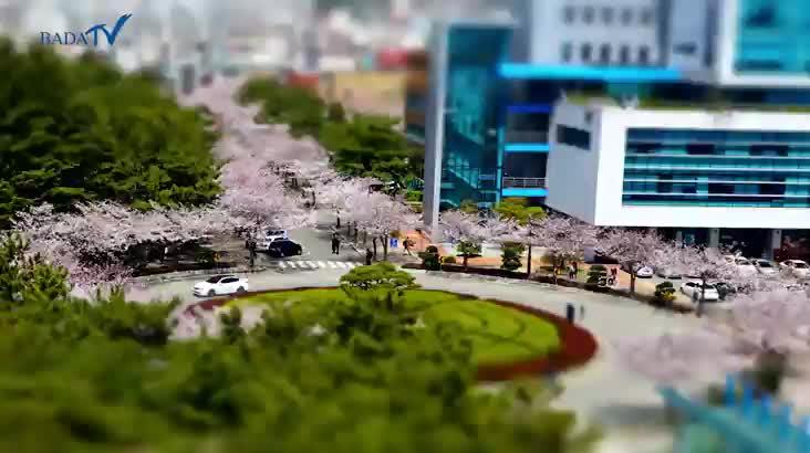 부경대 캠퍼스 벚꽃길