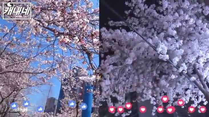 [캐내네]낮벚꽃 vs 밤벚꽃