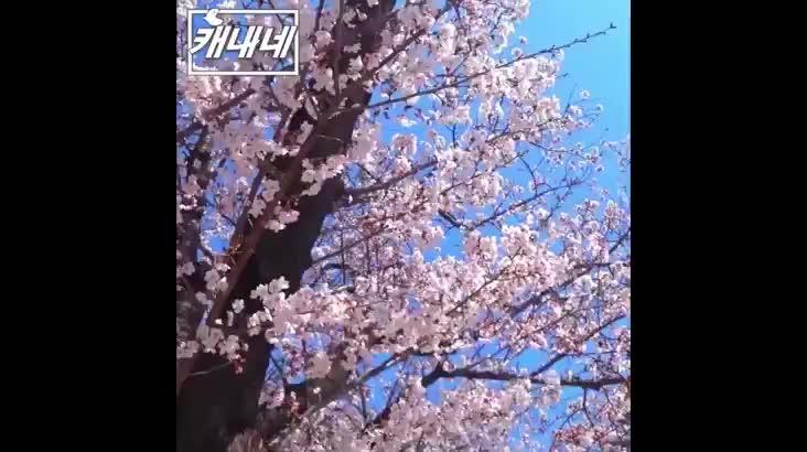 [캐내네]벚꽃 만개후 비오는날 야외에 주차하면 생기는 일