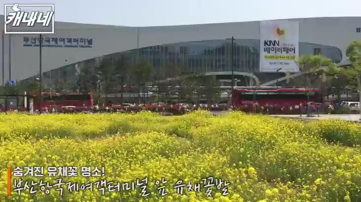 [캐내네]유채꽃 숨은 명소
