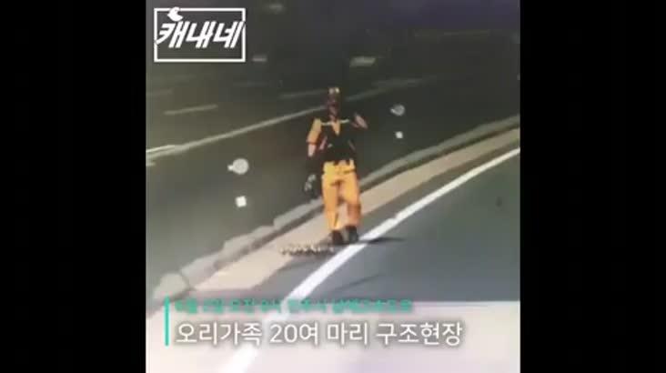 [캐내네]고속도로 한가운데 출몰한 오리떼 구출하기