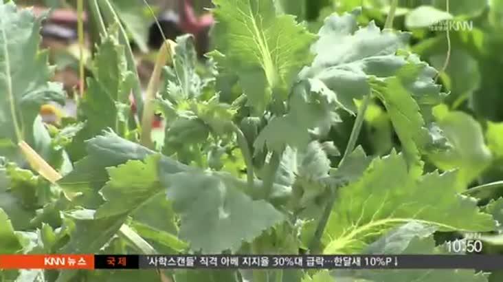 텃밭에서 양귀비 재배한 60대 검거