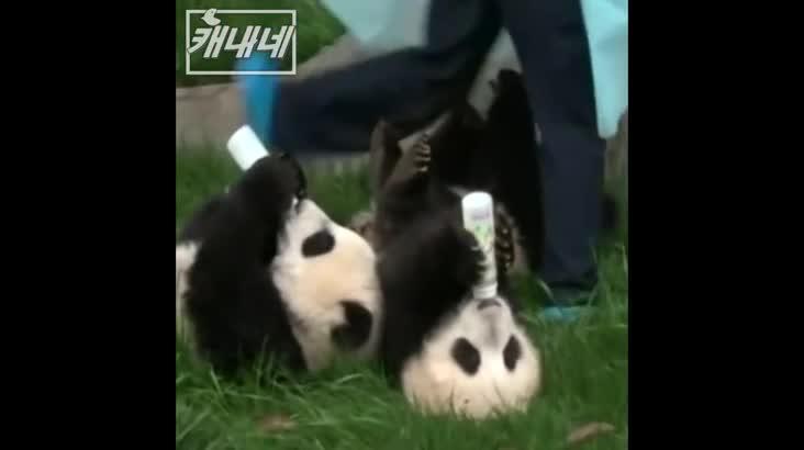 [캐내네]판다가 우유 마시는 법