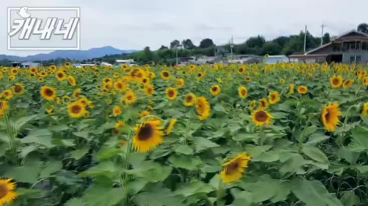 [캐내네]함안 강주마을 해바라기축제