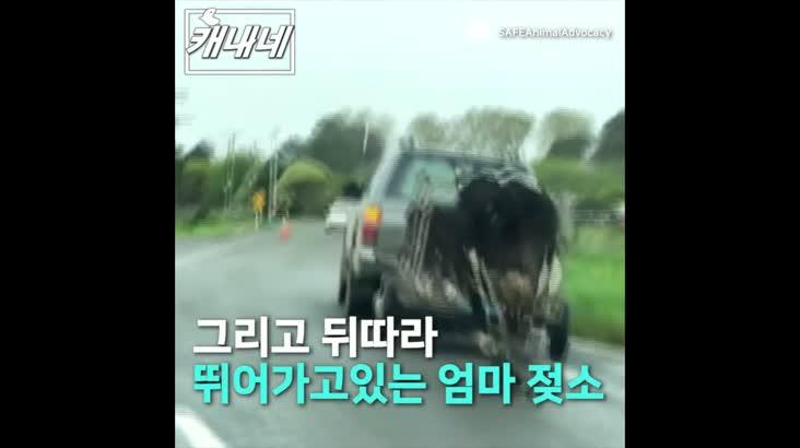 [캐내네]철창에 갇힌 송아지 쫓아가는 엄마 젖소
