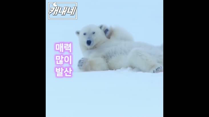 [캐내네]북극곰의 매력발산 현장