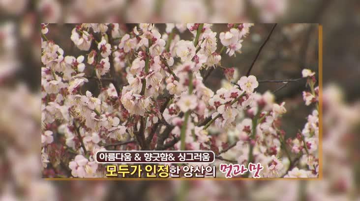 (03/20 방영) 풍물 (양산 원동에서 찾은 봄봄봄)