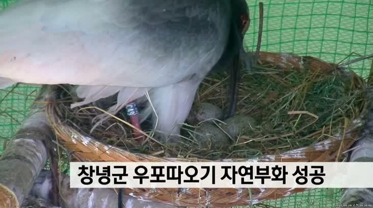 창녕군 우포따오기 자연부화 성공