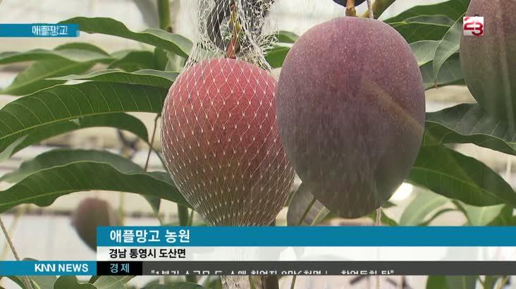 통영 애플망고 조기수확의 계절