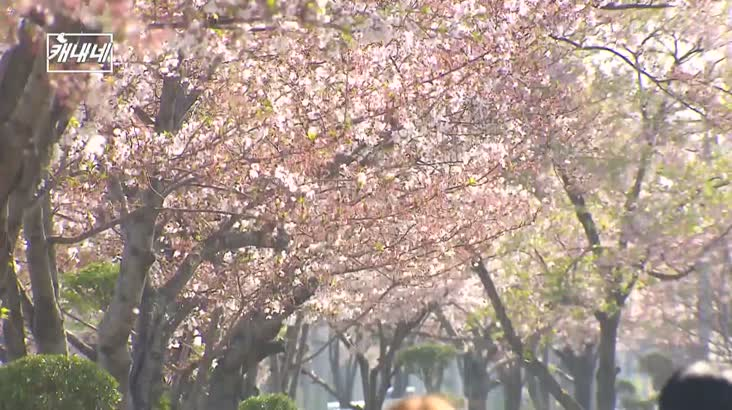 캐내네-봄꽃 영상