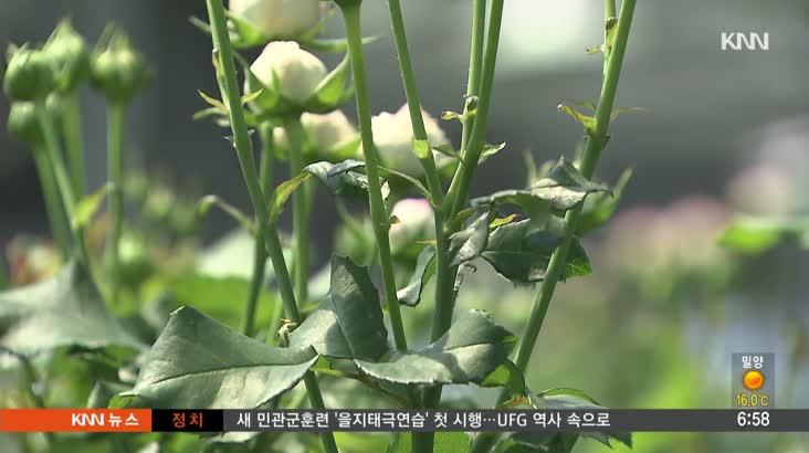 효자 수출 품목인 김해장미, 재기를 노린다
