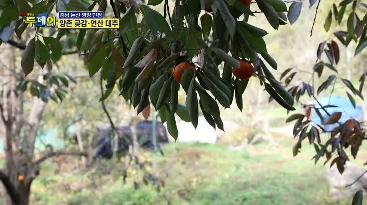 (11/28 방영) 충남 논산 영양만점 – 양촌 곶감 . 연산 대추