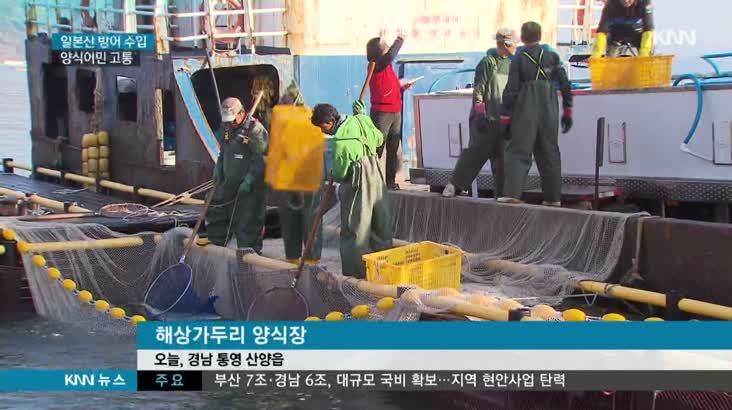 일본 방어 수입 급증 어민 울상