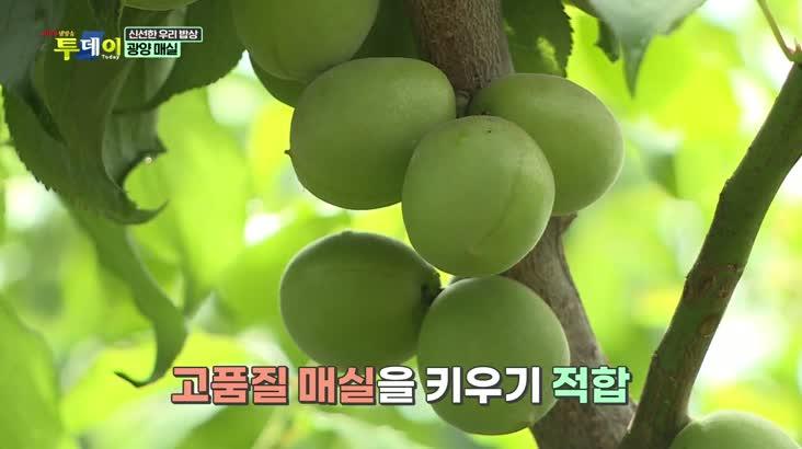 (06/04 방영) 신선한 우리밥상 – 광양 매실