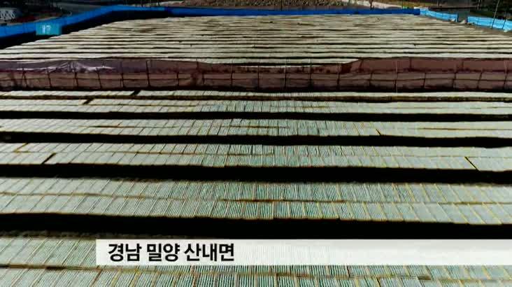 동양 최대 한천 생산지, 밀양 한천 수확 한창