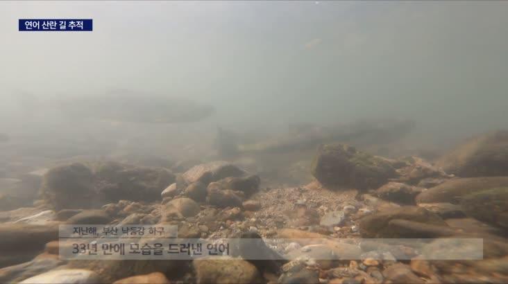 기적의 귀환 연어떼, 낙동강 산란 길 쫓는다