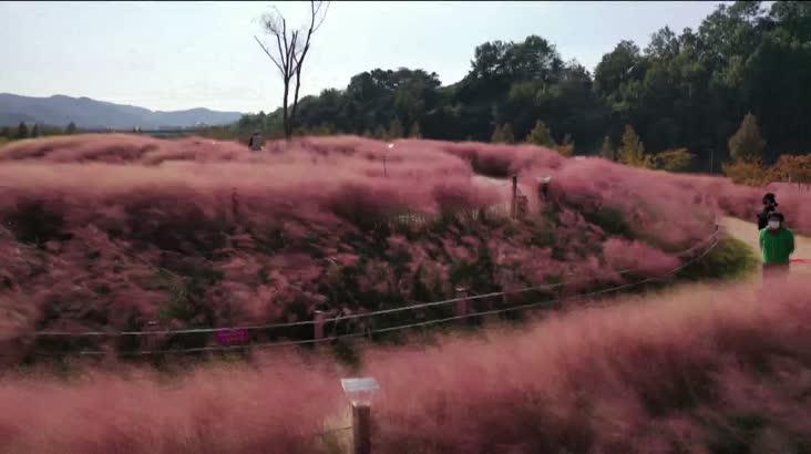 [KNN 영상뉴스]깊어가는 가을, 핑크뮬리와 은빛 억...